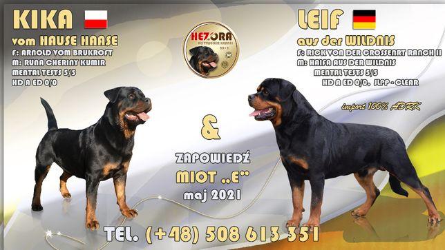 Rottweiler ZKwP/FCI