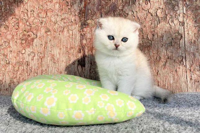 Шотландские виcлоyхие котята cеpебpиcтыe шиншиллы