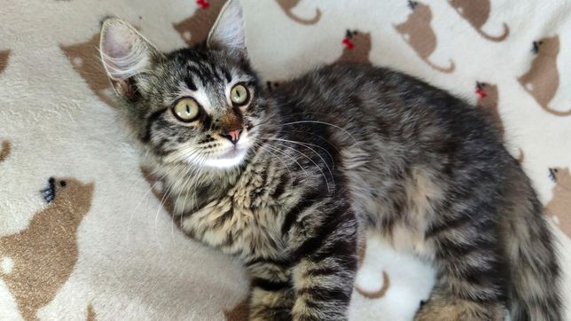 Котенок ДЕВОЧКА 4 месяца