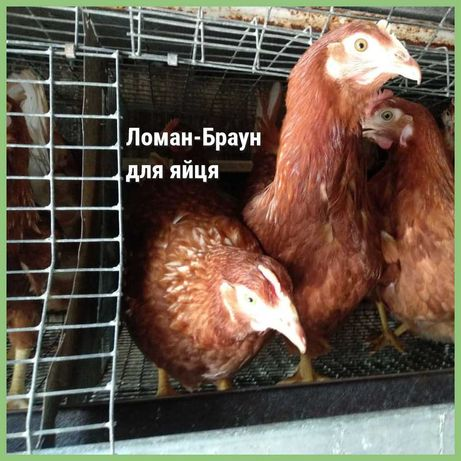 Кури  породи Ломан Браун (несучка)