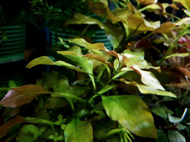 Ludwigia repens green