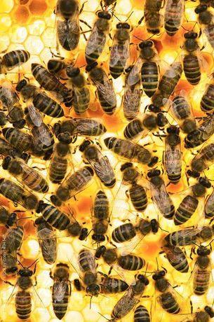 Карпатка Матки пчелиные 100% чистопородность. Сезонные скидки