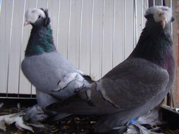 Gołębie ozdobne łyski saksońskie para łyski saksońskie
