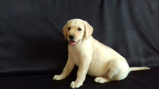 Лабрадор. Купить щенка