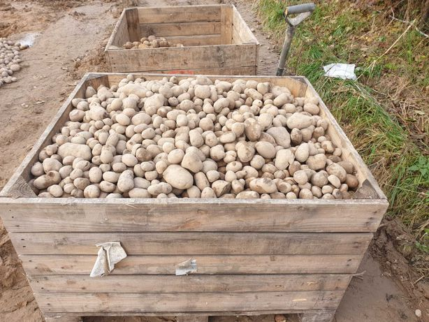 ziemniaki paszowe -sprzedam