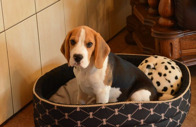 Mały, słodki Beagle Leoś (ZkwP, FCI)