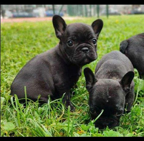 Продам щенков французский бульдог