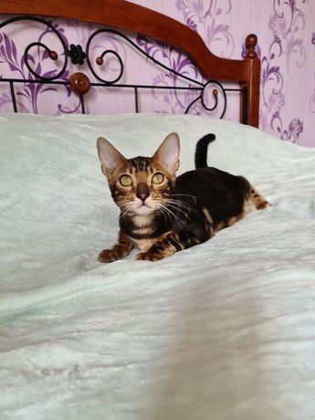 Бенгальскте котята, котёнок девочка.