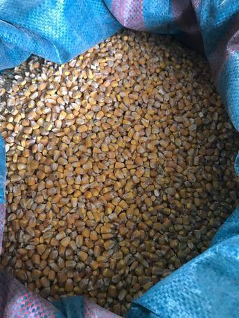 Kukurydza sucha, ładne, czyste ziarno