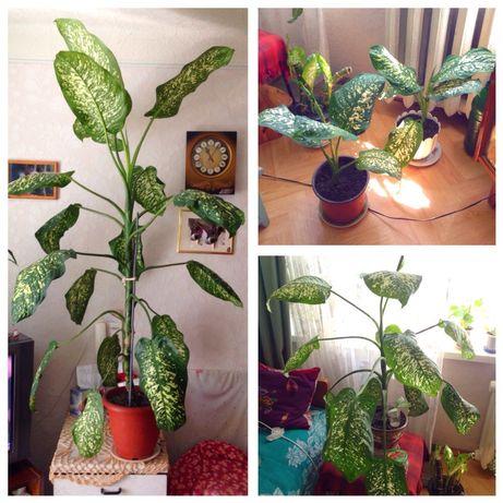 Диффенбахия растение цветок дерево вазон квітка дифенбахия диффенбахія