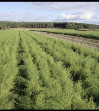 sadzonki karpy szparagi zamówienia na 2022 rok