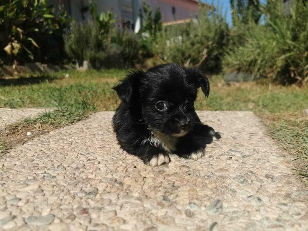 Linda femea Chihuahua Miniatura Pêlo Comprido