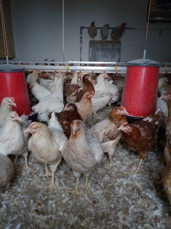 Kurki niOski młode początek kwietnia  pierwsze jajko
