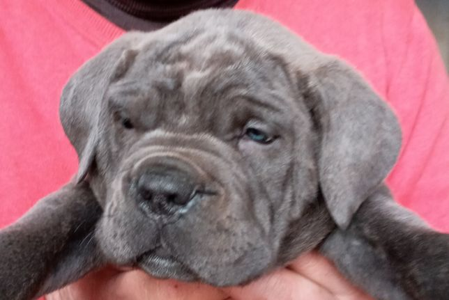 Кане корсо мальчик,щенок 4 месяца,худой,серый цвет.