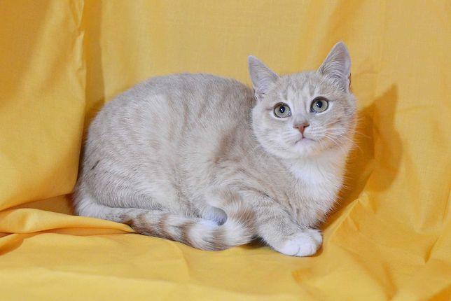 Кошечка Перис, возраст 3, 5 месяца, персикового окраса кошка кот