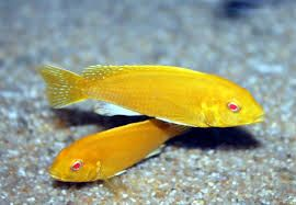 Pyszczak Labidochromis caerules albino torun