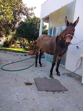 Vendo mula ou troco por alguma do meu interesse