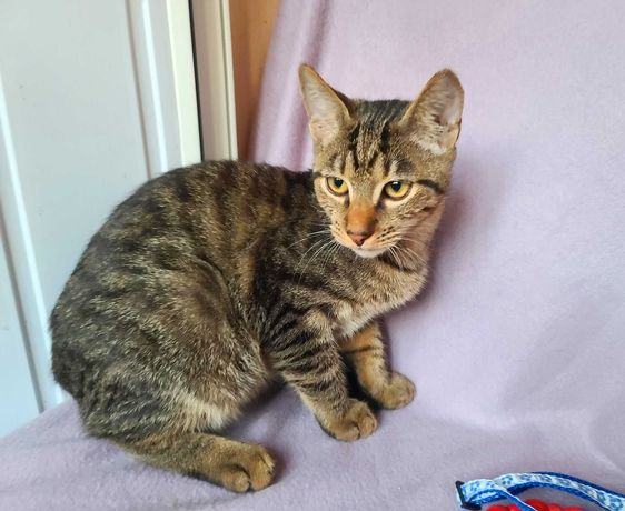 Полосатый добряк котик Чарльз, кот, котенок 3,5 мес.
