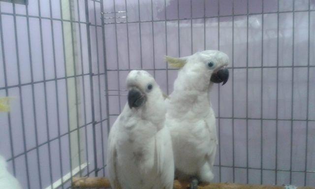 Ручные птенцы попугаев Жако Какаду Ара