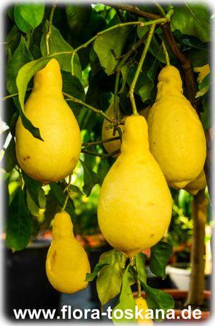 """Лимон Грушевидный """"Перетта (Citrus limon Peretta)"""" Комнатный"""