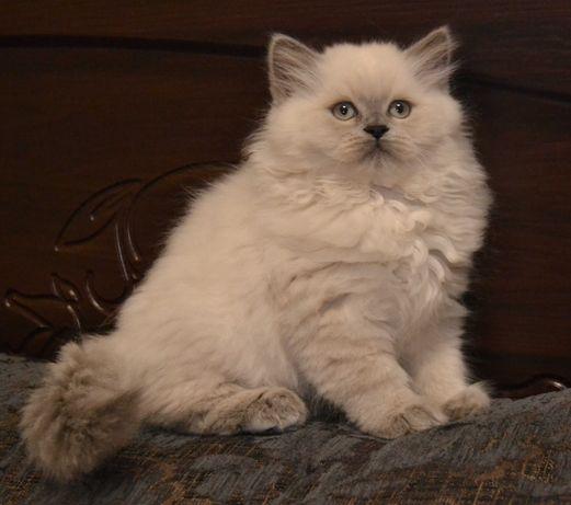 Страйт (прямоухий) котёночек. 2 месяца. Привит.