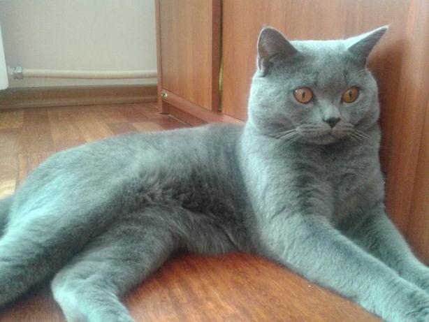 Красивейший кот британец приглашает кошечек на вязку.