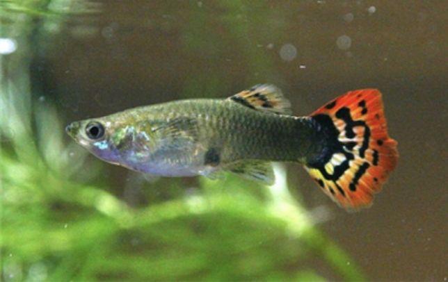 Vendo Peixes de Agua Quente - Guppy
