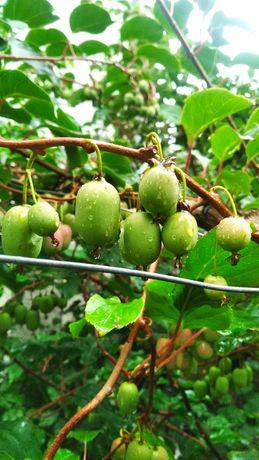 Mini Kiwi owoce hurt detal.