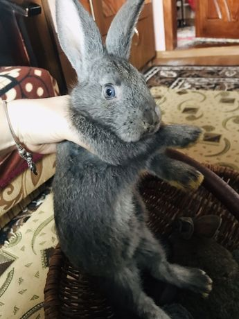 Продам кроликів, кроленят, кролів!