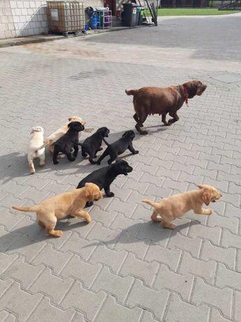 Labrador labradory szczenięta biszkopt