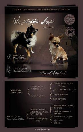 Chihuahua FCI Wszędobylskie Łapki