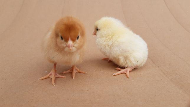 Brojlery kurki pisklęta kurczaki