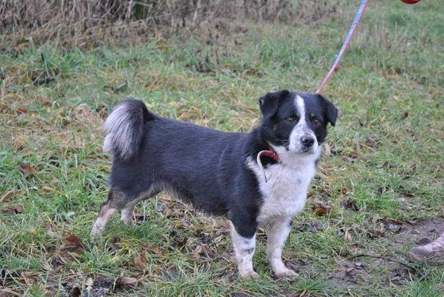 Szukamy Smerfa! Kolejny zaginiony pies w Lipnicach gmina Kocierzew!