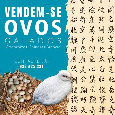 Ovos galados codorniz chinesa branca