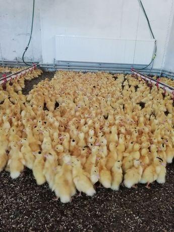 Запись на суточных цыплят и яйцо 2021