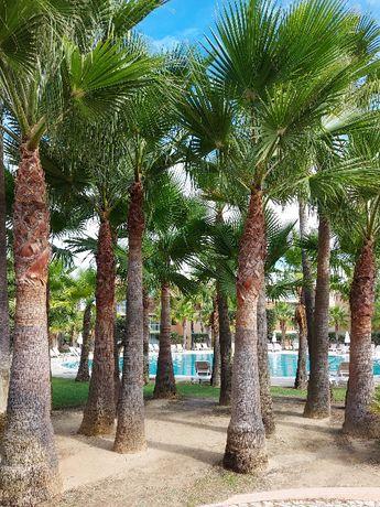 Palmeira da Califórnia