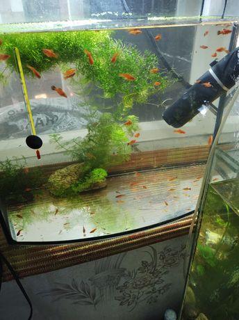 Меченосцы рыбки 2 месеца