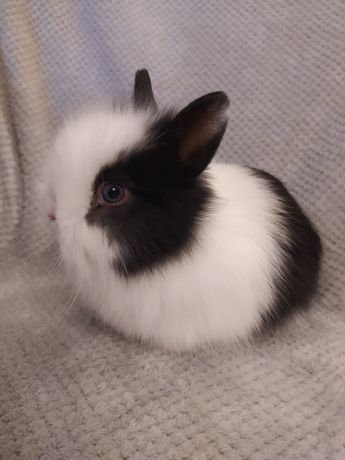 Królik miniaturka , króliki miniaturki Teddy