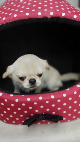 Chihuahua bialo kremowy