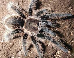 самка брахипельма альбопилозум brachypelma albopilosum паук птицеед па