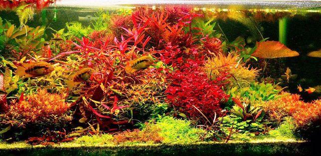 Красные аквариумные растения на средний и задний план.