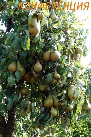 Однорічні саджанці груш