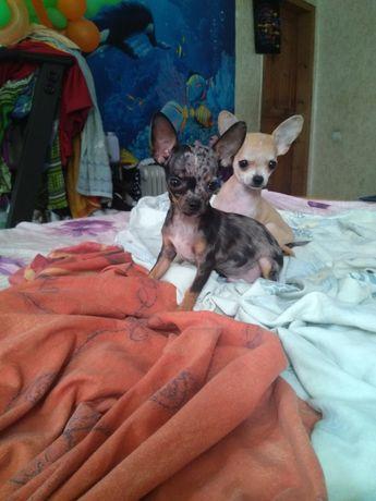 Продам чихуахуа щенки