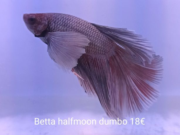 Betta macho dumbo halfmoon