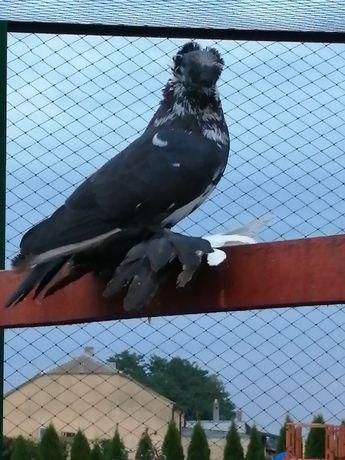 Sprzedam samca turkota, turkot gołębie ozdobne