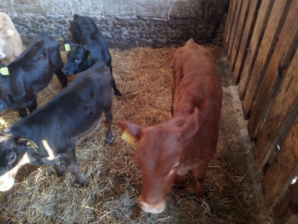 Knyszyn byczki i jałóweczki mięsne