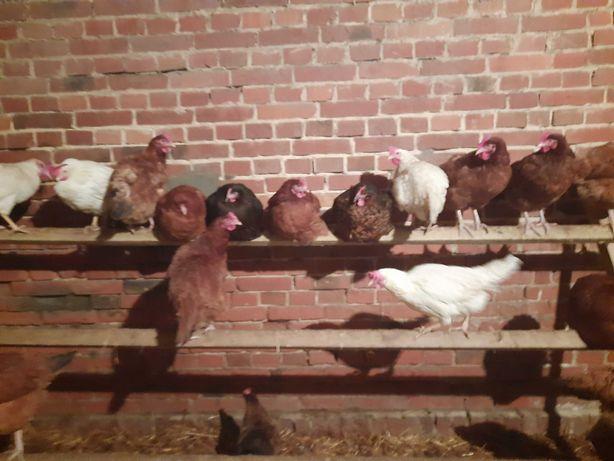 sprzedam kury 35złszt