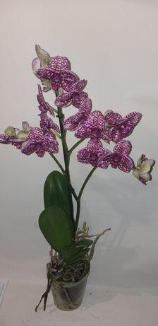 Продам орхидеи