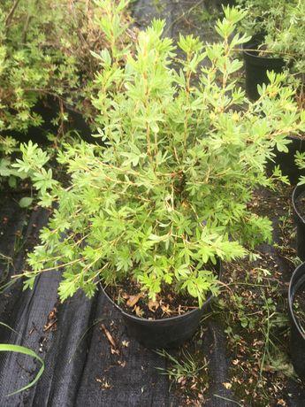 pięciornik krzewiasty fruticosa