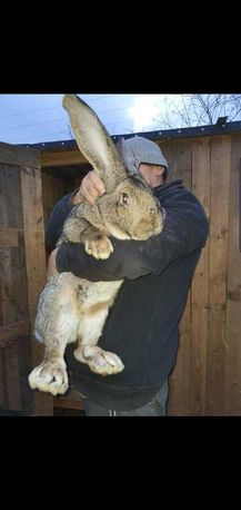 Olbrzym belgijski szary BOS króliki, królik
